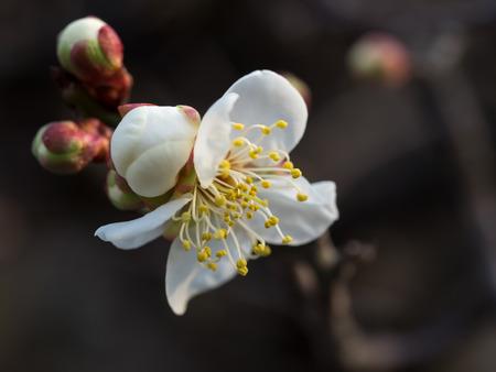 japanese apricot flower: Flower of the wild plum Stock Photo