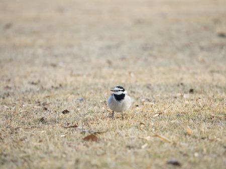 motacillidae: Cute wild bird in the winter open field of Japan Stock Photo