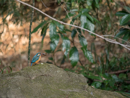 alcedinidae: Kingfisher preying on an aquatic insect