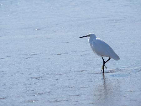 waterside: White heron of the waterside