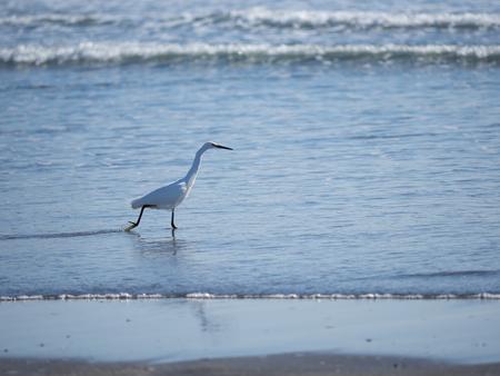 ardeidae: White heron of the waterside