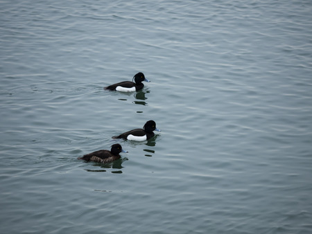 tufted: Tufted duck swimming in winter japan Stock Photo