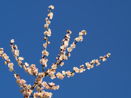 japanese apricot flower: Japanese apricot in the blue sky Stock Photo