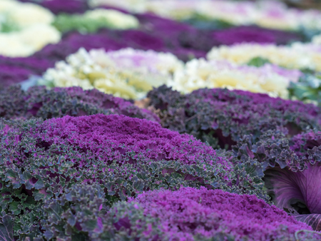 Much ornamental cabbage in the flower bed