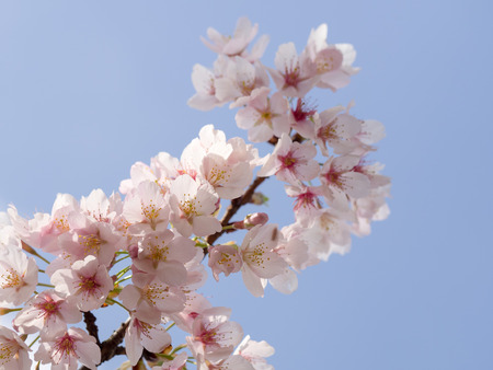 Beautiful cherry blossom in the blue sky