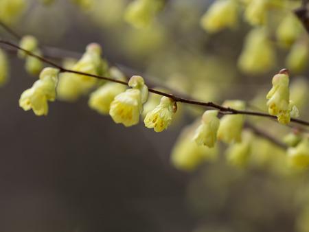 buttercup: Yellow buttercup winter-hazel Stock Photo