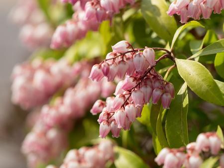 Pretty pink Japanese andromeda