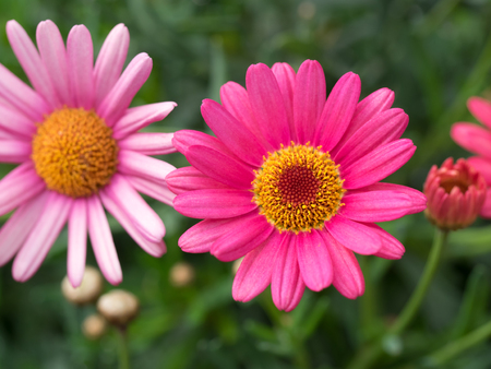 argyranthemum: Pretty marguerite of the spring flower bed,