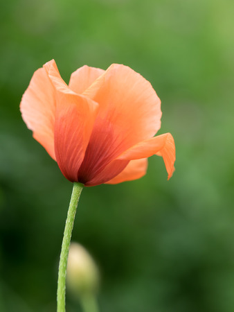 dubium: Long-headed poppy blooming in the spring field Stock Photo