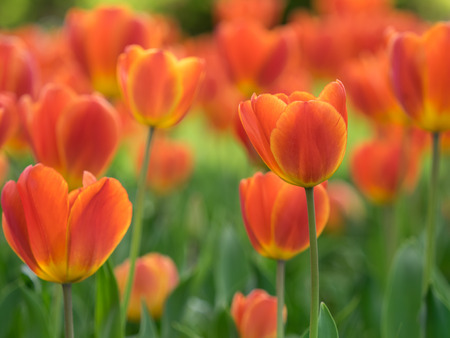 Lovely orange tulip bloom in the spring flower bed