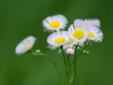 bud weed: Flower and bud of the Erigeron philadelphicus in the spring field Stock Photo
