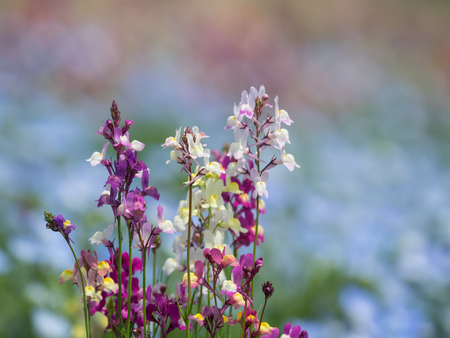 early summer: Linaria blooming early summer flower garden Stock Photo