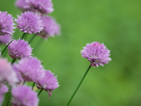early summer: Chives blooming  in the field of the early summer Stock Photo
