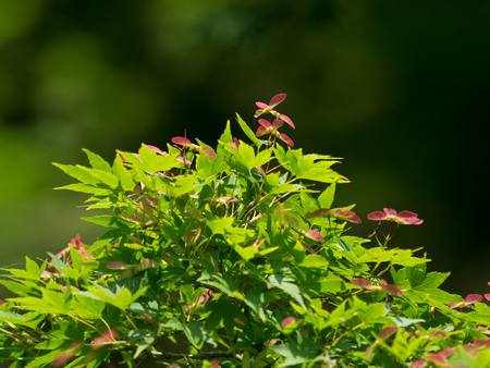 kind: Red kind and wing of the maple in early summer Stock Photo