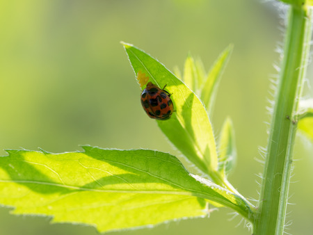 lady beetle: Laying eggs of the ladybug Stock Photo