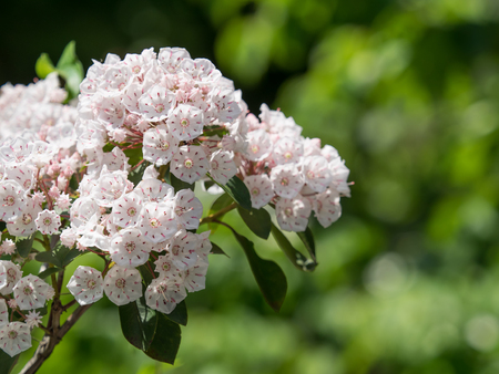 laurel mountain: Flower of the cute kalmia