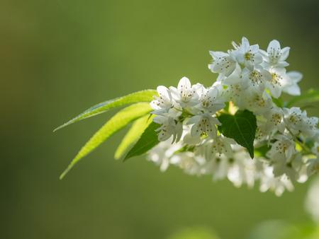hydrangeaceae: Small white flower of Slender deutzia