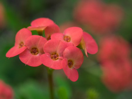 trees with thorns: Red flower of the Euphorbia milii Stock Photo