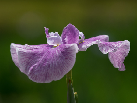early summer: Beautiful Japanese iris in early summer