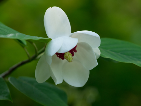 endangered species: Rare flower of the endangered species Magnolia