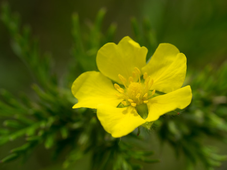 Potentilla chinensis growing wild in early summer riverbank