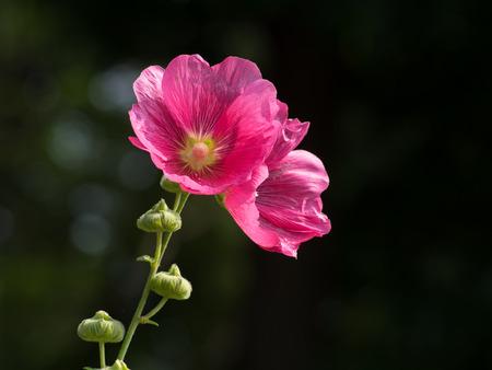mallow: Beautiful purplish red rose mallow