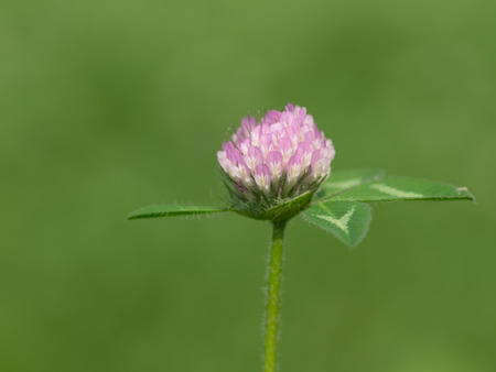 red clover: Red clover blooms  in the early summer grassy field Stock Photo