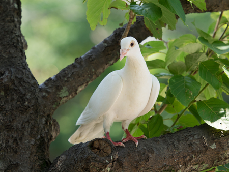 white dove: Beautiful white dove in the forest Stock Photo