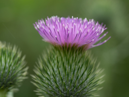 early summer: American plumed thistle blooming in early summer field