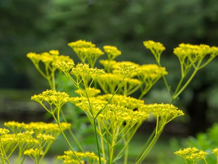 Patrinia scabiosaefolia said to be the seven flowers of autumn in Japan