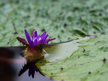 waterweed: Purple flower of the prickly water lily Stock Photo