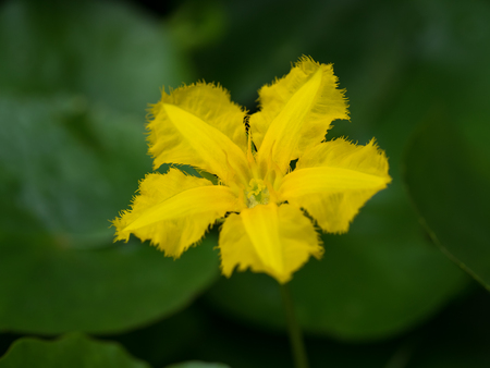 Yellow flower of the Nymphoides peltata
