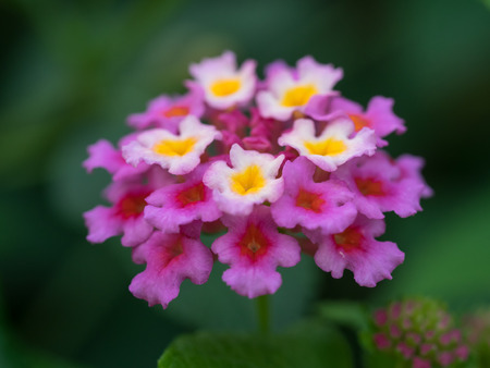 lantana: Beautiful colorful color Lantana