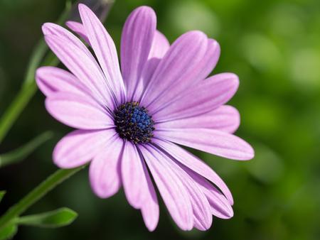 Beautiful pink Osteospermum Stock Photo