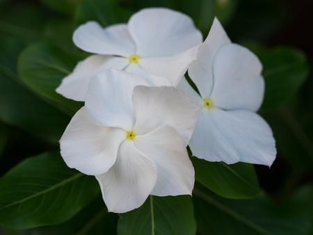 madagascar: Beautiful White  Madagascar periwinkle Stock Photo