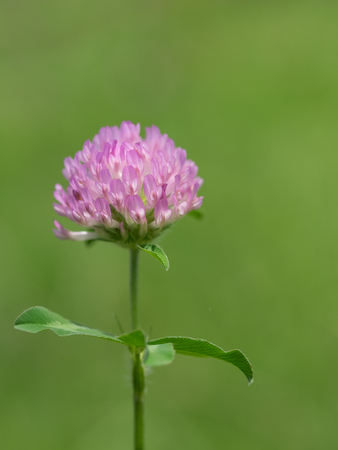Red clover blooms in the early summer grassy field