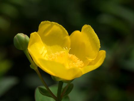 Bright yellow Hypericum patulum