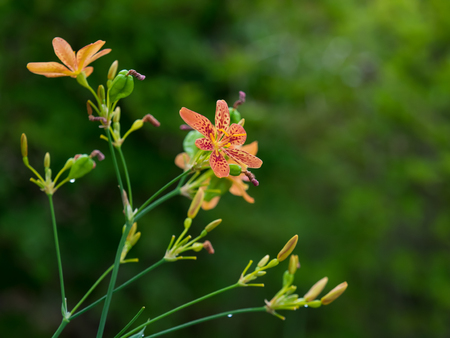 iridaceae: Blackberry lily growing wild in the forest
