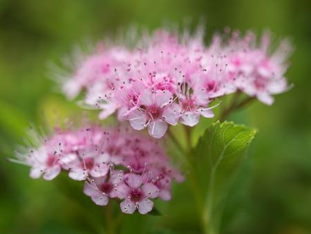 Beautiful pink flower Japanese Spiraea Stock Photo