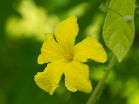 Yellow flower  Bitter gourd