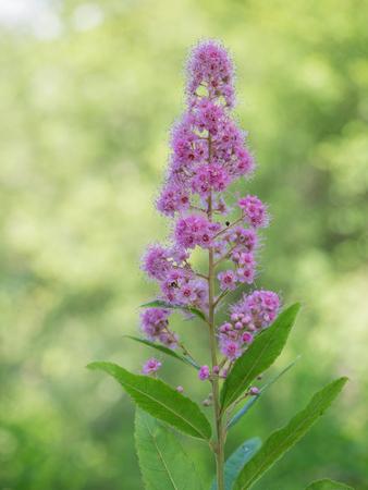 The Spiraea salicifolia which grows wild