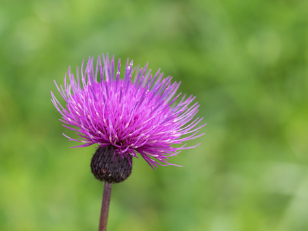 early summer: Cirsium japonicum  blooms in early summer grassy plain