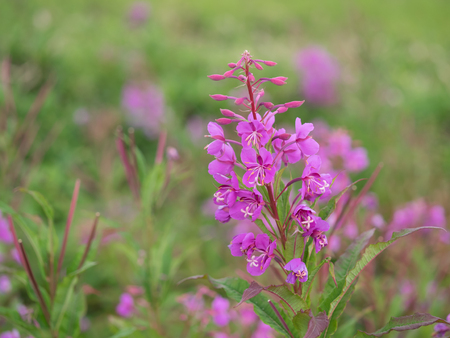 fireweed: Fireweed blooms in summer plateau Stock Photo