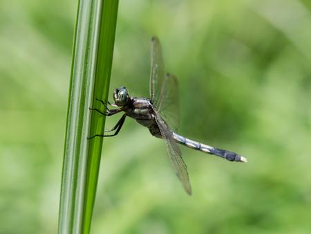 skimmer: Female of the Common skimmer