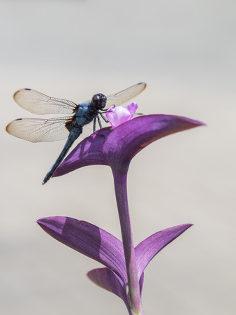 libellulidae: Purple heart and Common skimmer