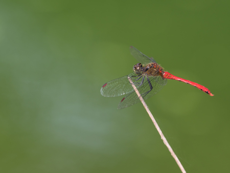 libellulidae: Red dragonfly of the early fall