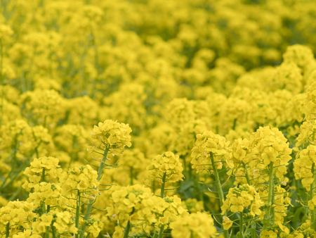 Yellow rape of the spring field