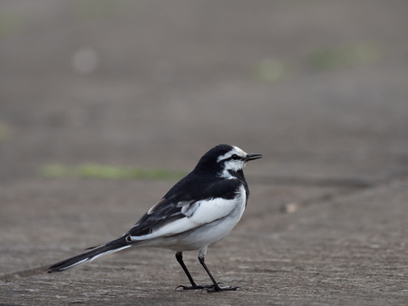 Japanese Pied Wagtail is walking Stock Photo