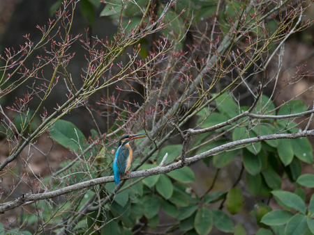 Female Kingfisher of a forest branch