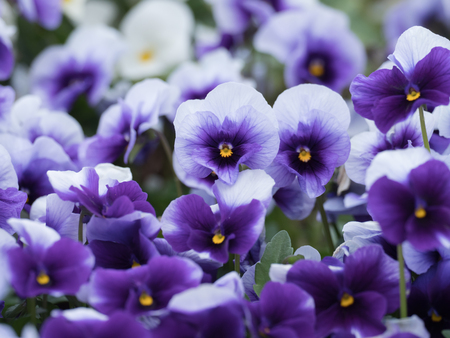 Beautiful blue-violet pansy in the flower bed, Stock Photo